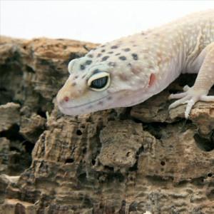 Leopard-Gecko-(7)