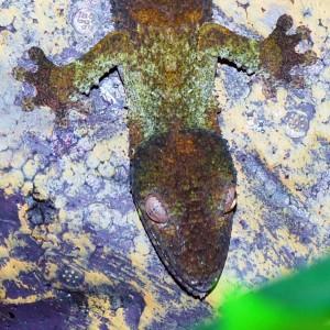 african-gecko