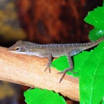 green-anole-(3)