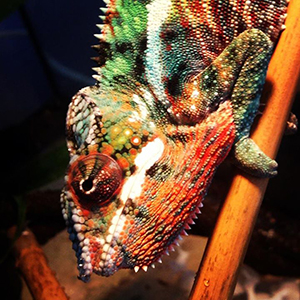 panther-chameleon-USE-2