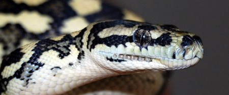 Large Python Species – Be Responsible!
