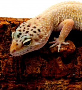 Leopard Gecko (6)