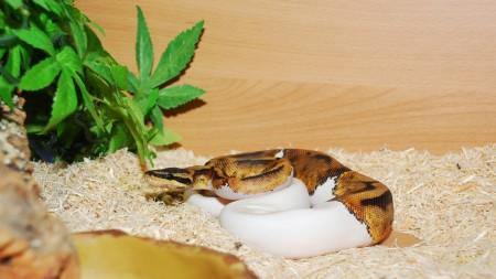 royal python (3)