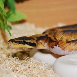 royal-python-crop