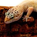Leopard-Gecko-6