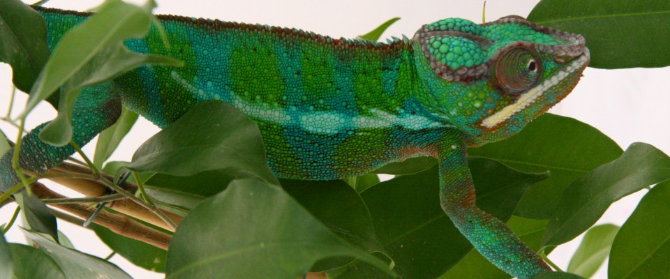 panther-chameleon-6