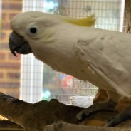 Rocky the Sulpher Crested Cockatoo