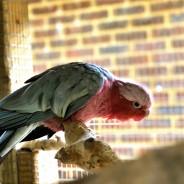Adelaide the Galah Cockatoo