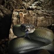 Titan the Papuan Python